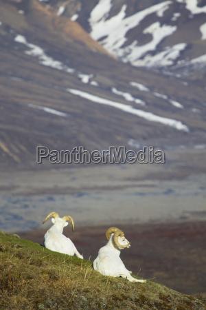 dos ovejas dall ovis dalli rams