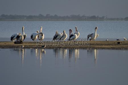 pelicans at the lake at colac