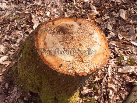 newly cut tree trunk stump woodland