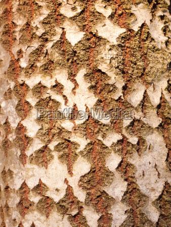 close up of aspen split tree