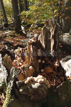 pear tree ling lycoperdon pyriforme mushrooms