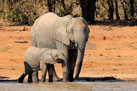 elefantes africanos en un pozo de