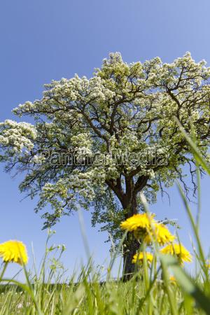flowering fruit tree on lowenzahnwiese mostviertel