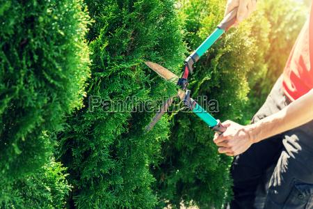cortando el arbol del thuja con