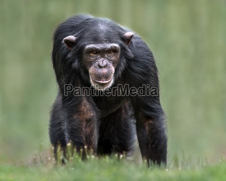 femenino animal mamifero retrato mono chimpance