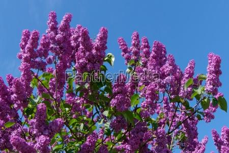 flores purpura sangrar