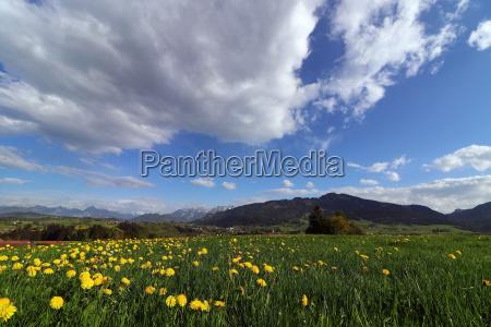 dandelion blossom in spring in front