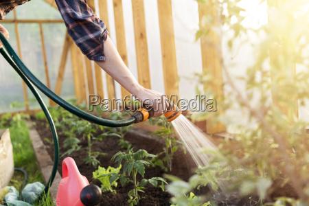 planta de riego de tomate de