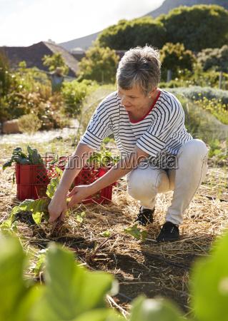 mujer madura cosecha de remolacha en