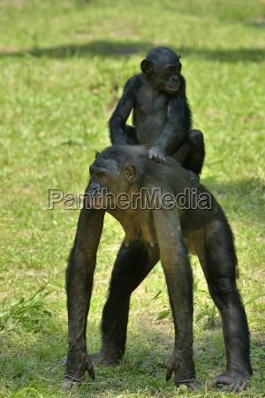 bonobo hembra con bebe en la