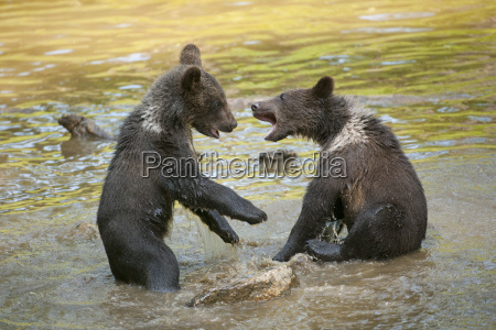 juego juega lucha animal parque nacional