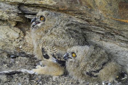 eagle owl bubo bubo juveniles at
