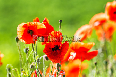 red poppies flowers blossom on wild