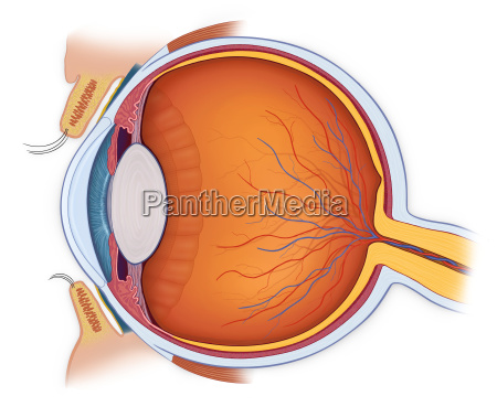 anatomia normal del ojo en la