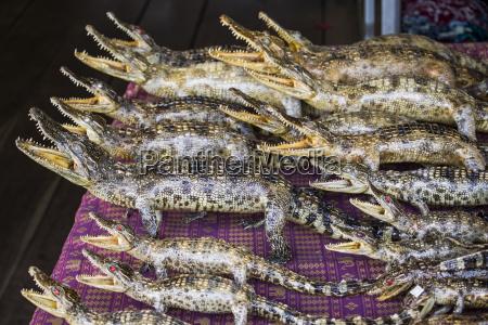 primer plano interior reptil relleno asia