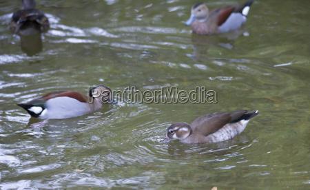 animal pajaro salvaje america pato ave