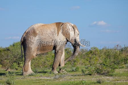 elefante africano cubierto de barro