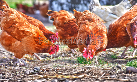 chickens on traditional free range poultry