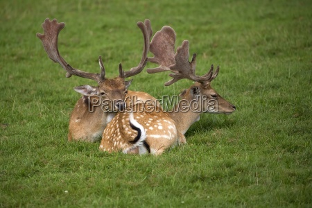fallow deer resting in a clearing
