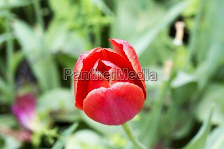 red tulip in close up