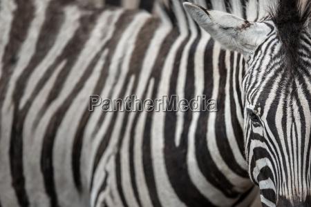 zebra vista de cerca con