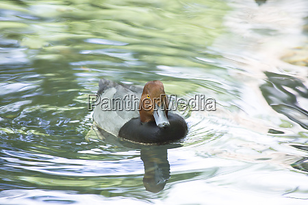 animal pajaro pato fauna ecologia biologia