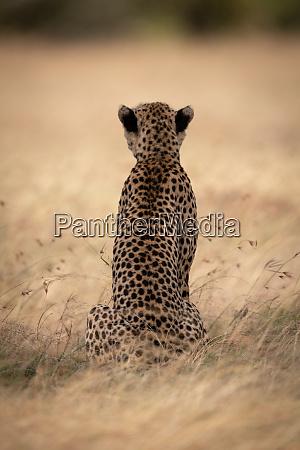 guepardo safari africa kenia masai mara