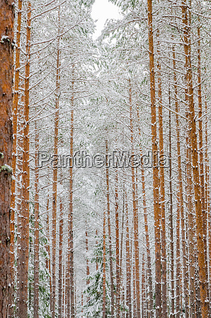 trunks of pine trees in the