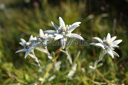 detalles de las flores de edelweis