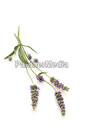 lavender bouquet on white