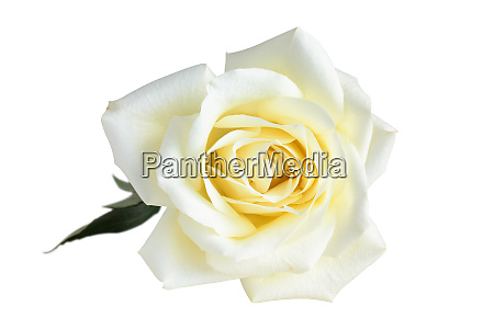 white rose on white