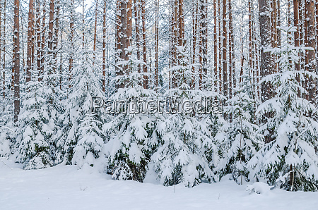 firs and pines in the forest