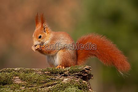 ardilla roja euroasiatica sciurus vulgaris en