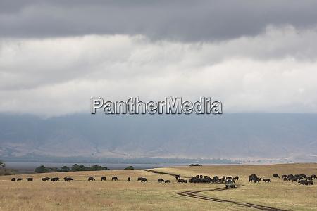 water buffalo around a safari vehicle