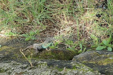 chameleon in kenya