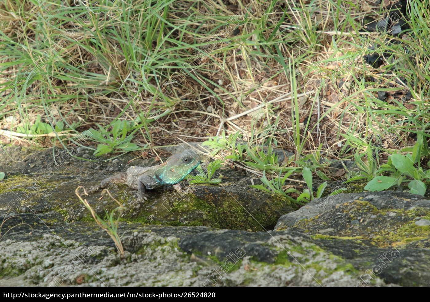 camaleón, en, kenia - 26524820