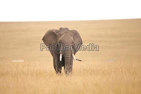 african elephant in the savannah