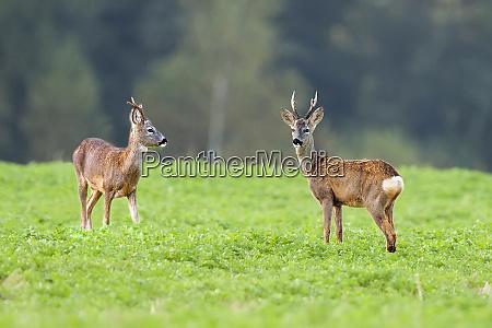 buck deers in the wild