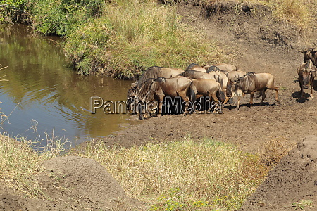 blue wildebeests at a waterhole in