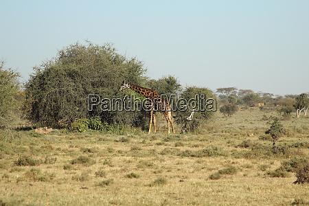 giraffe in front of a bush