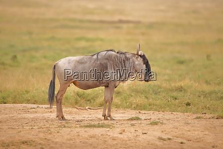 single wildebeest in amboseli national park
