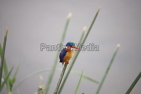 malachite kingfisher in amboseli national park