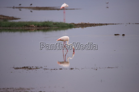 flamingo stands in a lake