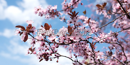 cherry blossoms at spring time