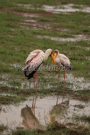 two yellow billed storks look at