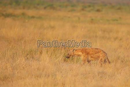 the high grass of the savannah