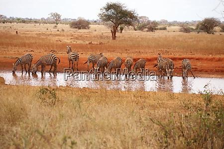 zebras at the waterhole in ngutuni