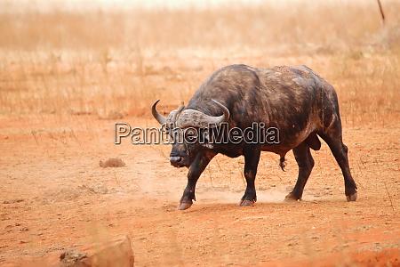 cape buffalo in ngutuni game reserve