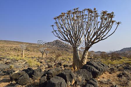 Africa namibia arbol de quiver dicotoma