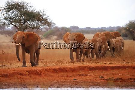 wandering herd of elephants